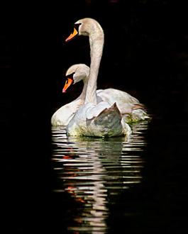swans-lake-od-22